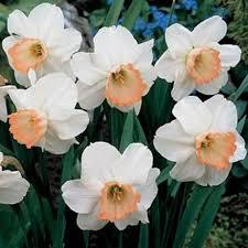 pink pride daffodil