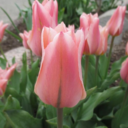 tulip albert heijn2