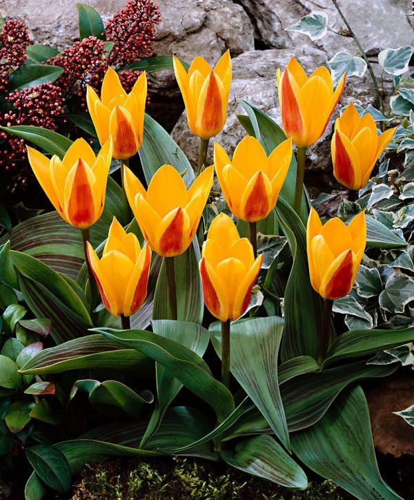 Tulip Giuseppe Verdi at beechmount garden centre