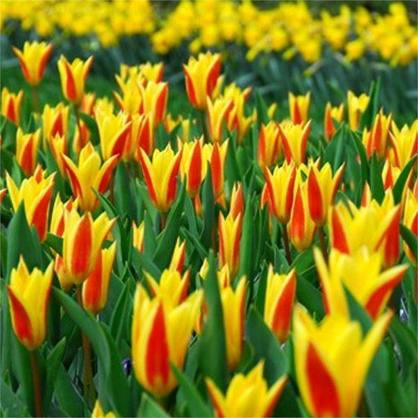 Tulip Giuseppe Verdi4