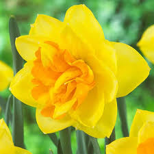 apotheose double daff