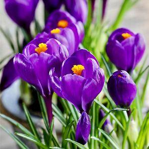 crocus flower record1