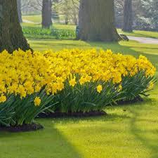 daffodil dutch master2