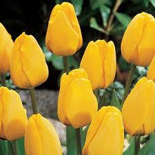 golden apeldoorn tulip