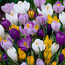 large flowering crocus mixed