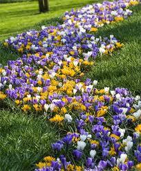 large flowering crocus mixed2