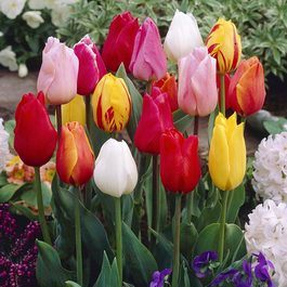 mixed single tulips2