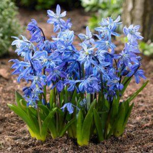 scilla siberica blue