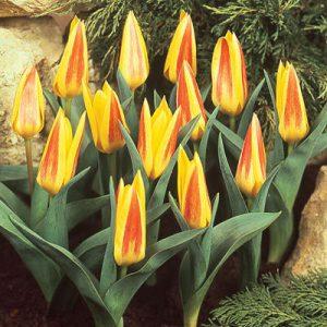 tulip giueseppe verdi