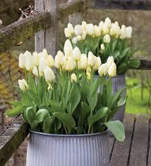 tulip purissima3