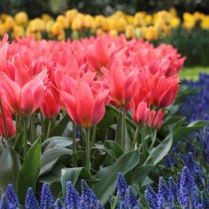 tulip toronto