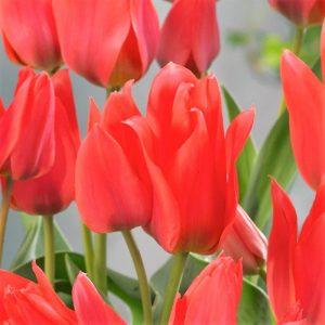 tulip toronto at beechmount garden centre