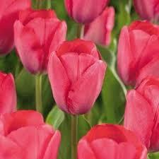 tulip van eijk2