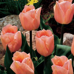 tulpi apricot beauty