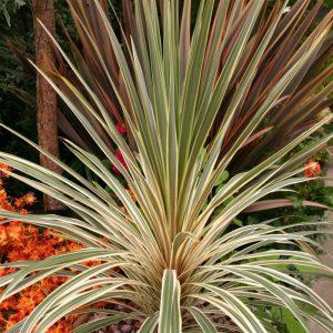 Cordyline australis Torbay Dazzler