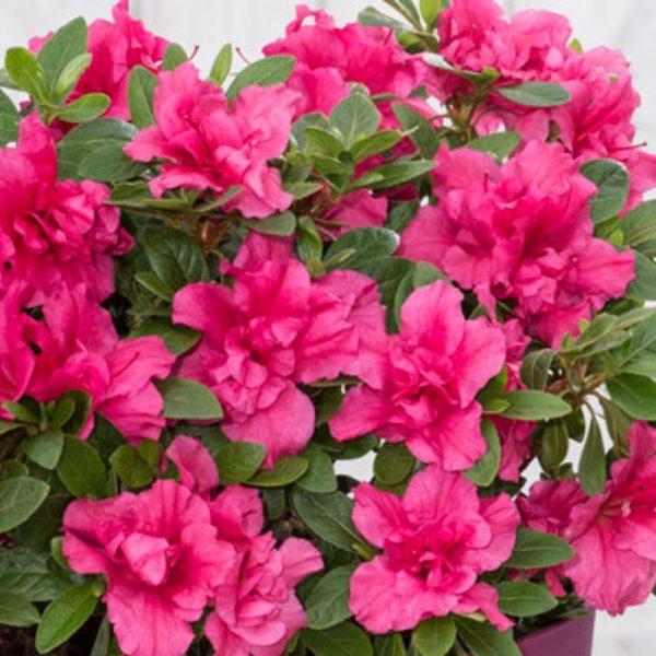 azalea bloomchampion