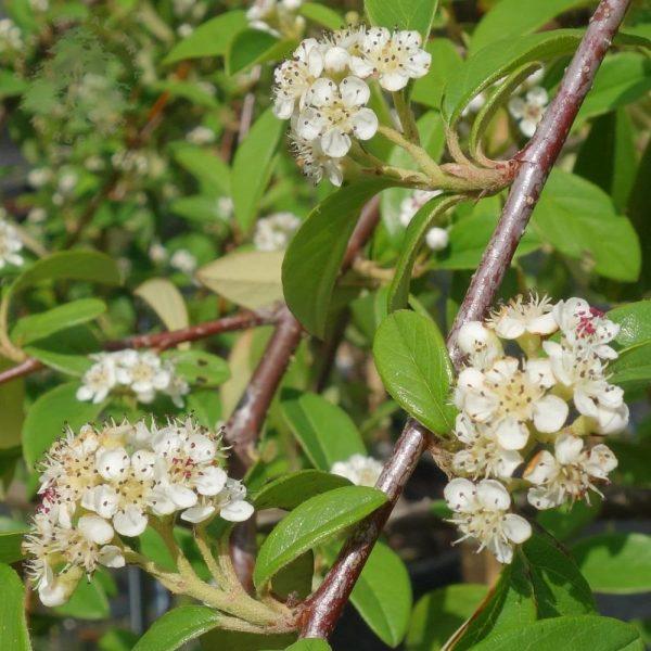 cotoneaster-hybridus-pendulus-tree2