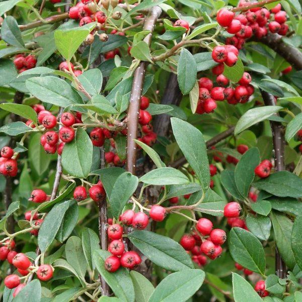 cotoneaster-hybridus-pendulus1