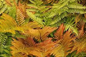 Dryopteris erythrosora at Beechmount Garden Centre