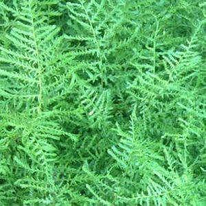 Dryopteris filix-mas 'Linearis Polydactyla' at beechmount garden centre