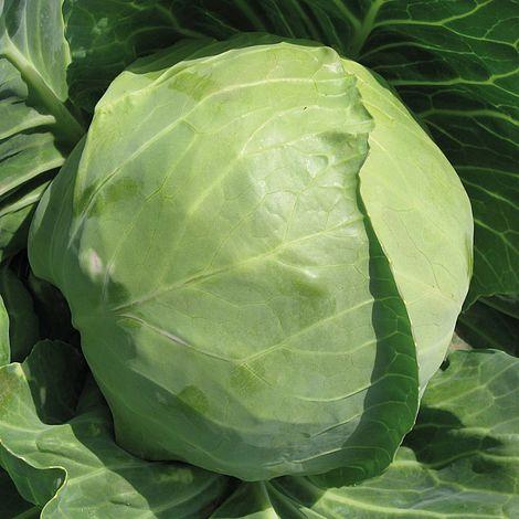Cabbage spring hero @ beechmount garden centre