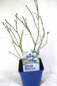 blueberry 2ltr at beechmount garden centre