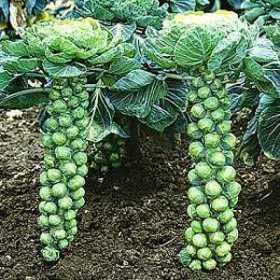 brussels-sprouts at beechmount garden centre