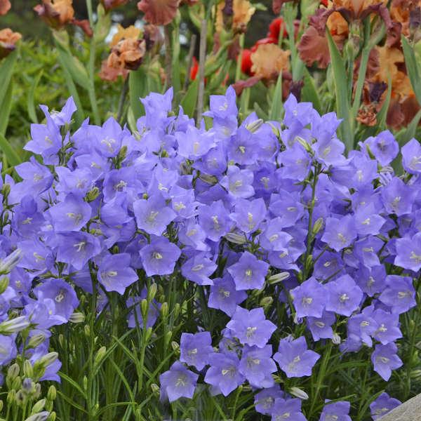 campanula blue at beechmount garden centre