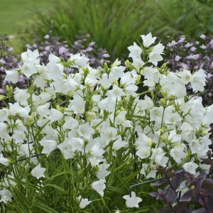 campanula white at beechmount gadren centre