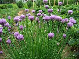chives at beechmount garden centre