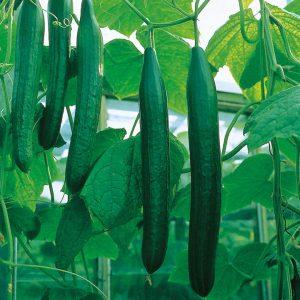 cucumber at beechmount garden centre