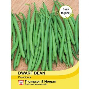 dwarf bean caledonia at beechmount garden centre