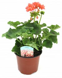 geranium 13cm red at beechmount garden centre
