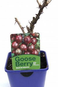 gooseberry 2ltr at beechmount garden centre