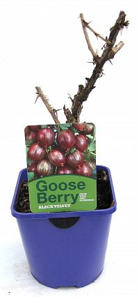gooseberry 2ltr at beechmount garden centre