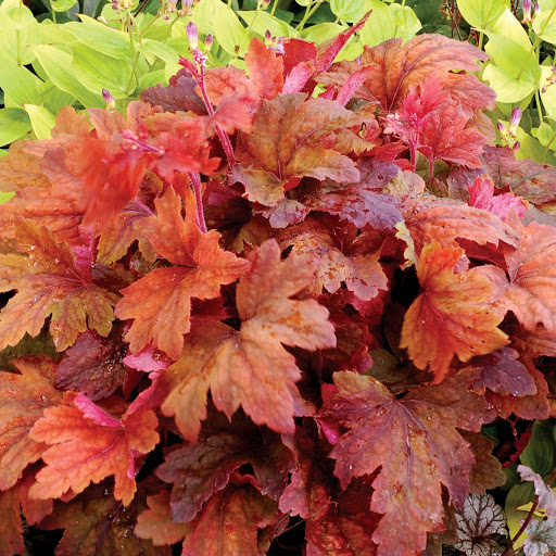 heucherella sweet tea at beechmount garden centre