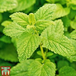 lemon balm at beechmount garden centre