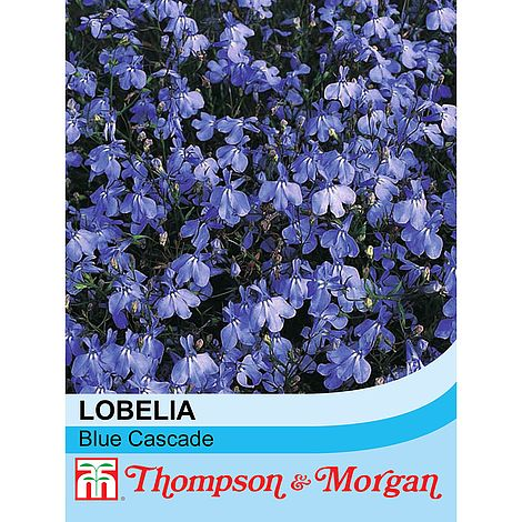 lobelia blue cascade at beechmount garden centre