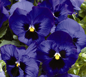 pansy at beechmount garden centre