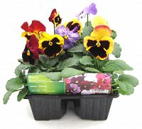 pansy fruit of the forest 6pk at beechmount garden centre