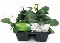 pansy white at beechmount garden centre