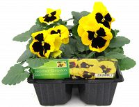 pansy yellow blotch at beechmount garden centre