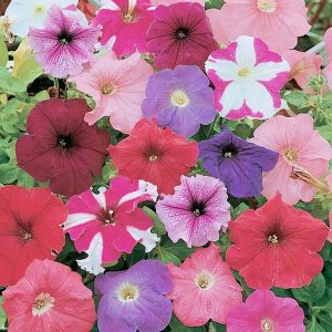 petunia rainbow mixed at beechmount garden centre