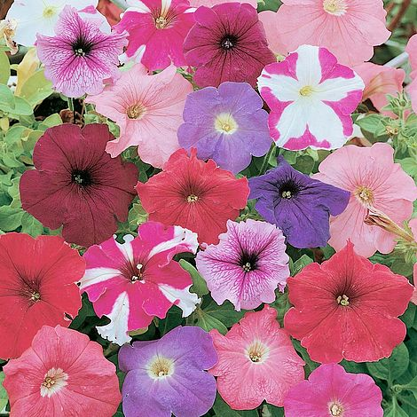 petunia rainbow mixed at beechmount garden centre