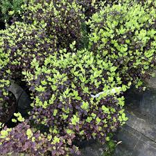 pittosporum tom thumb at beechmount garden centre