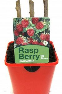 raspberry glen ample 2ltr at beechmount garden centre