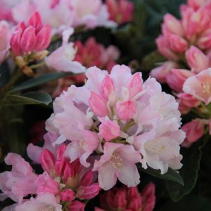 rhodo dreamland at beechmount garden centre