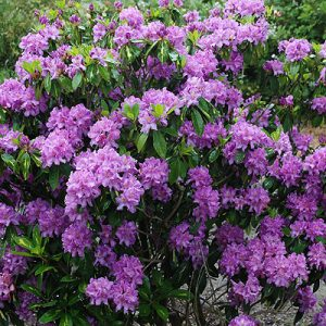 rhodo goldflimmer at beechmount garden centre