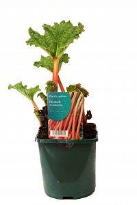 rhubarb at beechmount garden centre