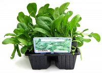 spinach at beechmount garden centre